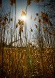 Sun brillante brilla a través de malas hierbas altas. Imagen de archivo