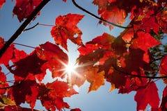 Sun brillante que brilla a través de follaje de otoño rojo fotografía de archivo libre de regalías