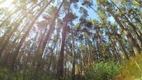 Sun brille dans la forêt de pins banque de vidéos