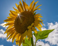 Sun burst through a sunflower petal on a perfect late summer day Royalty Free Stock Images