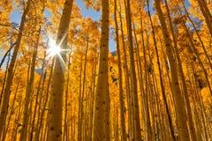 Sun bursting through a grove of Aspen Trees in the Fall Season Stock Photos