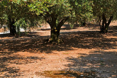 Sun casting shadows through Olive Trees Stock Images