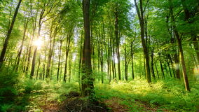 The sun casts its beautiful rays into the fresh green forest, time lapse. Beautiful sun rays illuminating a beech forest in vivid shades of fresh green, time