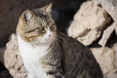 Sun cat. Image of a gray striped cat is basking on background of rocks. feline Moustache ear Stock Images