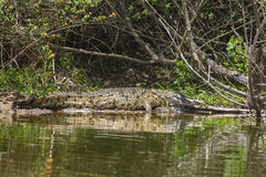 Sun che abbronza alligatore Immagine Stock