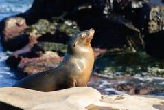 Sun che adora leone marino Immagini Stock Libere da Diritti