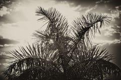 Sun che aumenta dietro la palma nella seppia Fotografia Stock