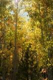 Sun che dà una occhiata tramite le foglie della tremula Fotografia Stock