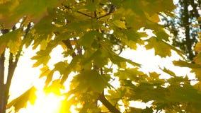 Sun che lucida tramite i fogli di autunno archivi video