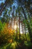 Sun che splende attraverso Forest Trees Immagini Stock Libere da Diritti