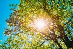 Sun che splende attraverso il fogliame della stagione primaverile della quercia deciduo immagine stock libera da diritti
