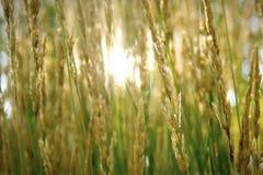 Sun che splende attraverso l'erba fotografie stock libere da diritti