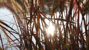 Sun che splende attraverso l'erba di mattina. stock footage