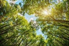 Sun che splende attraverso le cime d'albero Immagini Stock Libere da Diritti