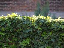 Sun che splende sull'edera Fotografie Stock