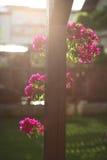 Sun che splende sulla buganvillea Immagine Stock