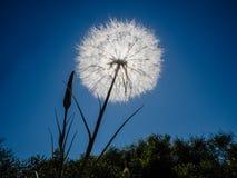 Sun che splende tramite la testa del seme Fotografia Stock Libera da Diritti