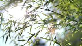Sun che splende tramite le foglie di bambù stock footage