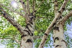 Sun chispea a través de las hojas del árbol de abedul Foto de archivo libre de regalías
