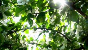 Sun clignote et miroite dans le feuillage de floraison de pommier, inclinent  clips vidéos
