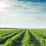 Sun in clouds and agricultural field with tomatoes Stock Image