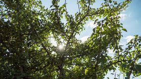 Sun and clouds moving in the sky through the branches of a tree with green leaves. Timelapse. stock footage