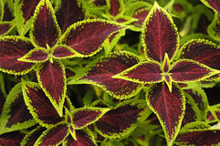 Sun Coleus Leaves royalty free stock images