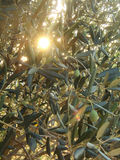 Sun coming through olive branches. Sun coming through a bunch of olive branches with lots of leaves and a few olives Stock Image