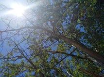 Sun con gli alberi ed il cielo blu verdi Fotografia Stock