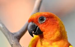 Sun Conure Royalty Free Stock Photos