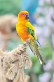 Sun Conure Royalty Free Stock Photo