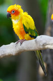Sun Conure Royalty Free Stock Image