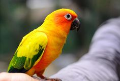 Sun Conure Aratinga solstitialis Royalty Free Stock Photography