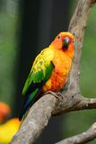 Sun Conure (Aratinga solstitialis) Stock Photos