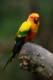 Sun Conure (Aratinga solstitialis) Royalty Free Stock Photography