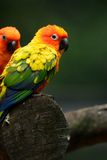 Sun Conure (Aratinga solstitialis) Royalty Free Stock Photo