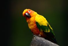 Sun Conure (Aratinga solstitialis) Stock Photography