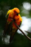 Sun Conure (Aratinga solstitialis) Stock Images