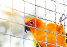 Sun conure Aratinga solstitialis climbing in the cage . Royalty Free Stock Photo