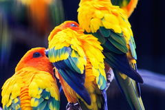 Sun conure Aratinga solstitialis Royalty Free Stock Images