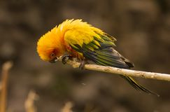 Sun Conure Aratinga solstitialis. Sitting on a branch Royalty Free Stock Photography