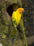 Sun Conure Aratinga solstitialis. In front of the tree nest Royalty Free Stock Photography