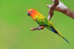 Sun Conure bird Royalty Free Stock Images