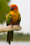 Sun Conure Bird. S on wood Royalty Free Stock Photo