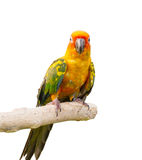 Sun conure bird. Close up on tree Stock Photo