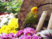 Sun conure bird in the garden Royalty Free Stock Photos
