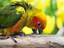 Sun conure bird in the garden Stock Photography