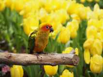 Sun conure bird in the garden Royalty Free Stock Images