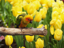 Sun conure bird in the garden Stock Images