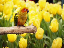 Sun conure bird in the garden Stock Image
